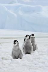 Fond de hotte en verre imprimé Pingouin Emperor Penguins chicks