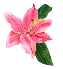 Watercolor drawing of single pink lily flower with green leaves