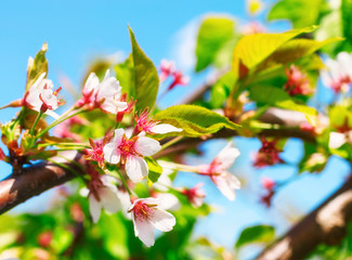 Cherry blossom on a background of blue sky