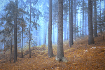Wall Mural - Lovely dreamy and foggy conifer forest landscape. Color filter effect used.