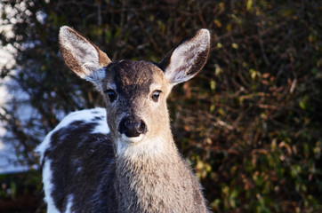 Black-tailed deer fawn with piebald fur looking directly at camera.