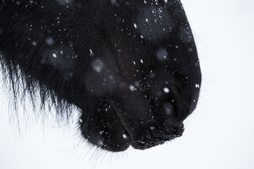 Nostrils of friesian horse and snowflake
