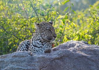 Leopard auf einem Fels ausruhend