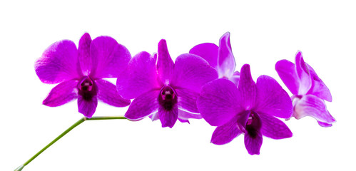 beautiful purple orchid flowers isolated on white background