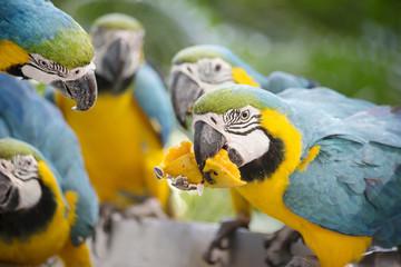 Группа попугаев сине-желтых Ара делят манго.