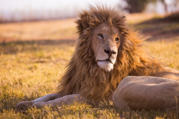 Lion in the grass, South Africa