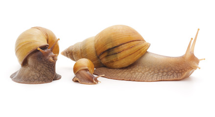 Big snails with small snail.