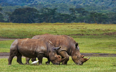 Two rhinoceros walking on grass in the national park. Kenya. National Park. Africa. An excellent illustration. Wall mural