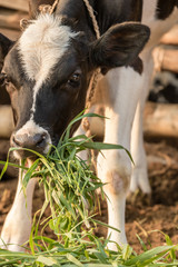 Black and White calf eats grass