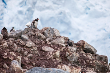 Gentoo penguins with bird on a rock against snow rocks