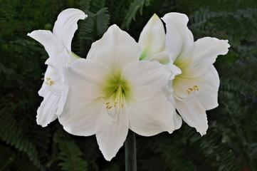 Amarylis blanco