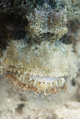 Scorpion fish face