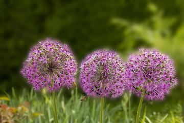 three giant purple allium flower field with tiny blue flowers