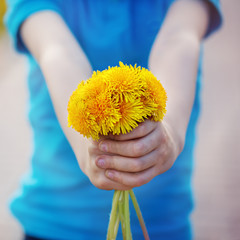 Closeup child hands  holding bouquet of yellow dandelions outdoo
