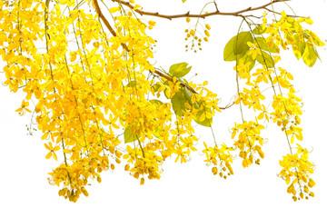 Golden Shower Cassia Fistula Beautiful Flower In Summer Time