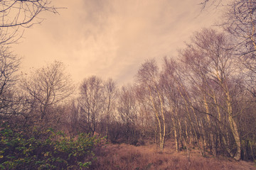 Forest in Denmark with birch trees