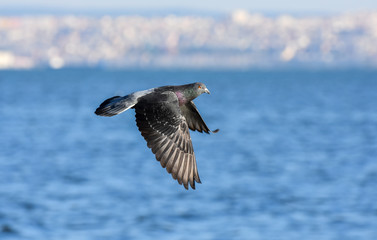 Pigeon flying with open wings, Pigeon in the air with wings wide open in-front of the blue sea.