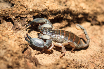 Madagascar scorpion, opisthacanthus madagascariensis, in Isalo national park