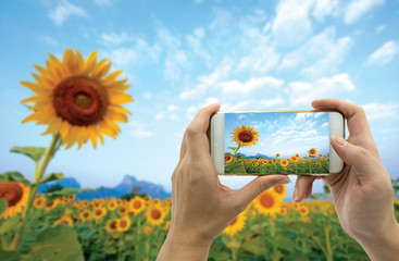 Hand taking picture of sunflowers field from smartphone