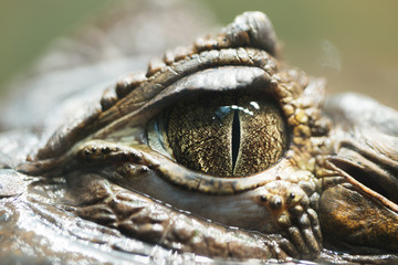 very close up pupil alligator