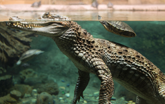 Large alligator head under water and above