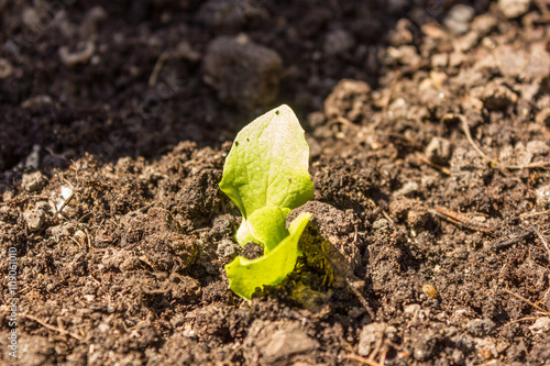 Salatpflanzen Im Hochbeet Kopfsalat Setzlinge Stockfotos Und