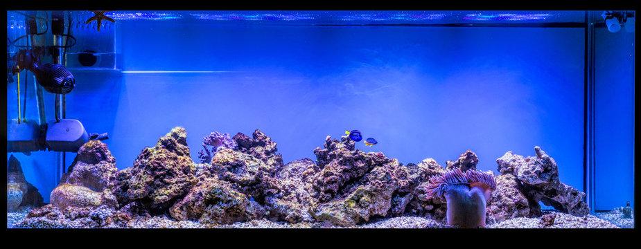 Large panoramic aquarium with tropical reef fish Azure Damselfis