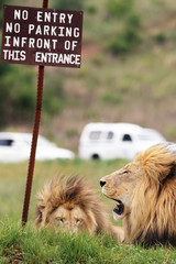 Fototapete - Lions at warning sign (Panthera Leo)