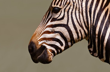 Wall Mural - Zebra close-up (Equus quagga)