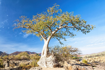 Baobab tree in Epupa falls area in Namibia. Baobab is the common name for each of the nine species of tree in the genus Adansonia and reach heights of 5 to 30 m. and have trunk diameters of 7 to 11 m.