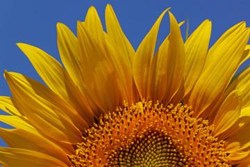 close up of sunflower over blue sky