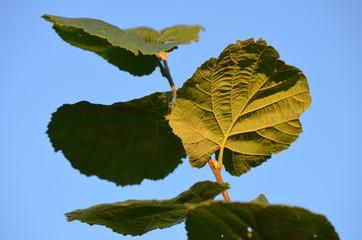 Leaves of hazel tree, Corylus avellana, against blue sky