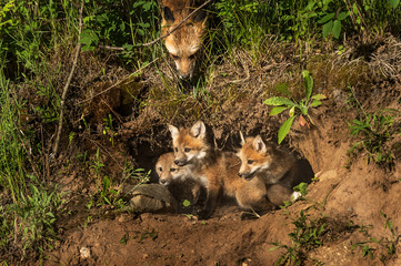 Red Fox Kits in Den (Vulpes vulpes) Mother Watching from Above
