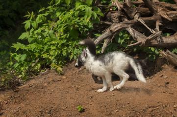 Marble Fox (Vulpes vulpes) Runs Left with Silver Fox Behind