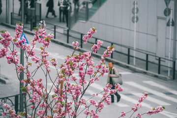 Japanese sakura blossom in city with road background