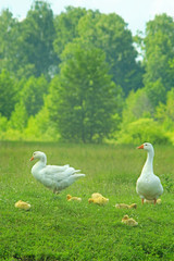 white geese on the meadow