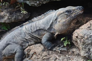 Iguana sits on the cliff near piramida.