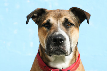headshot of large mixed breed young dog with floppy ears, wearing a red collar