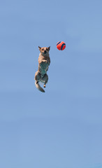 Australian cattle dog jumps across a blue sky to catch a toy in summer.