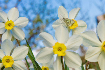 daffodils in the garden, butterfly on a flower narcissus