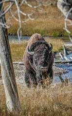 American Bison Slowly Lumbers Forward in the Plains of Yellowstone National Park