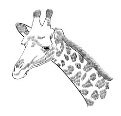 sketch of the head of a giraffe on a white background