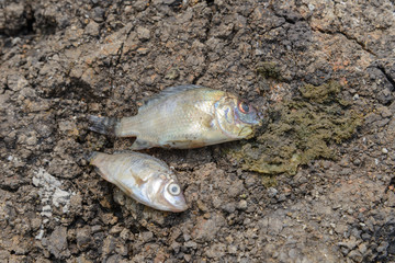 fish died on cracked earth, concept for drought, global warming