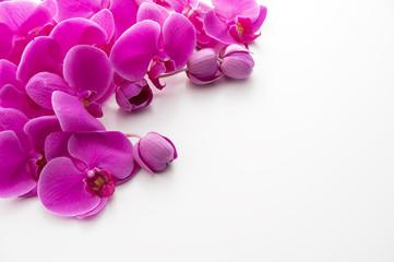 白バックのピンク色の胡蝶蘭