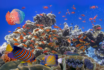 School Of Coral Goldfishes