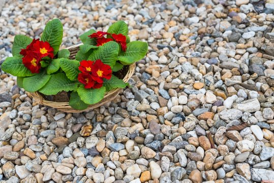 Three blooming red primulas in the basket on pebbles in the springtime. Space in right side.