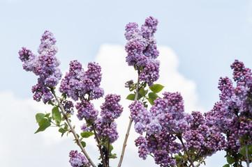 lilac flower bud