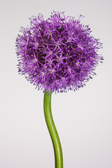 Single allium flower with bright violet head on a white background