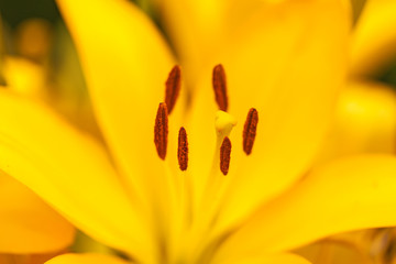 Close up view on the pistil and stamens inside yellow lily.