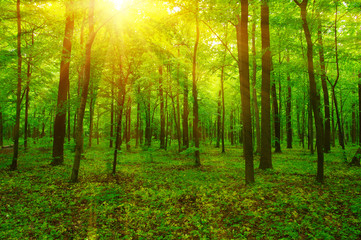 Forest and sun